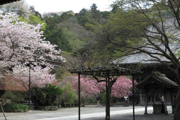 平成28年4月6日の妙本寺。桜と海棠(カイドウ)揃い踏みです。