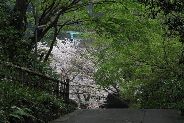 平成28年4月6日、妙本寺の新緑と桜。