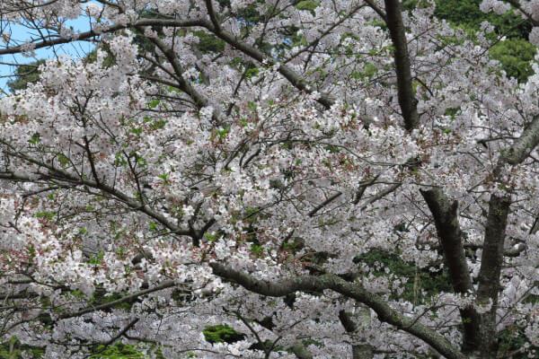平成28年4月6日、妙本寺の桜。