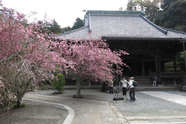 平成28年4月6日、妙本寺の海棠(カイドウ)。