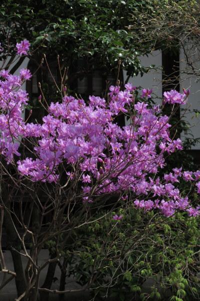 平成28年4月6日、妙本寺の吉野躑躅(ヨシノツツジ)。
