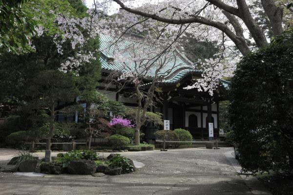 平成28年4月6日、妙本寺の桜と吉野躑躅(ヨシノツツジ)。