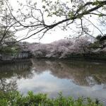 鶴岡八幡宮の桜。