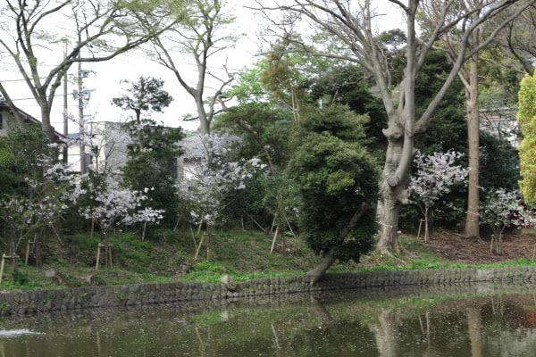 鶴岡八幡宮の桜。平氏池の周囲には新しい桜が植えられています。大きく育つのが楽しみです。