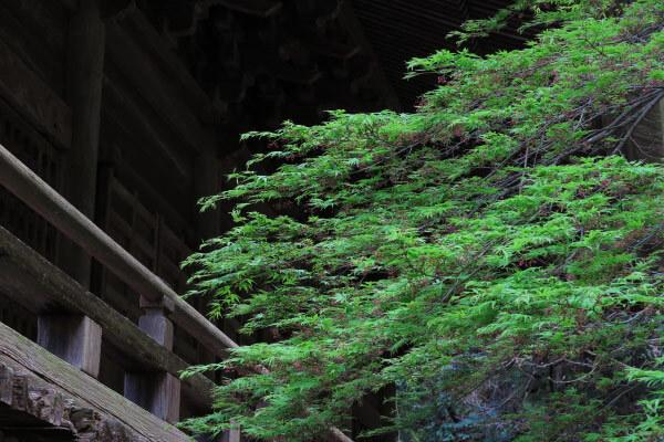 平成28年4月6日、妙本寺の緑。