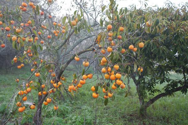 道中の柿。
