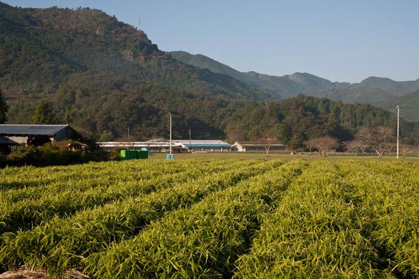 生姜畑が広がっています。