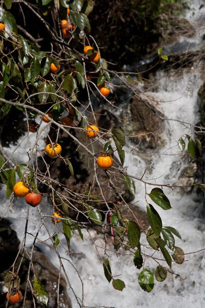 高知の清流と柿。