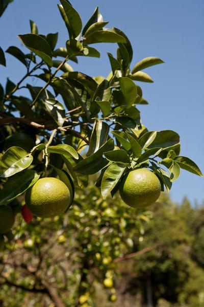 四国は柑橘類がよく似合います。