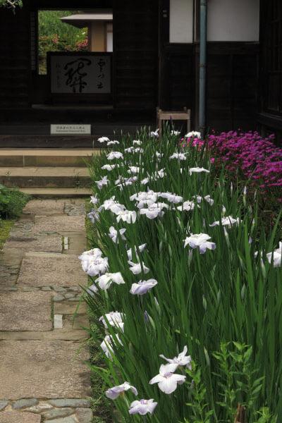 平成28年(2016年)5月31日、海蔵寺の花菖蒲。