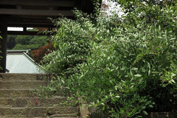 平成28年(2016年)5月31日、海蔵寺の萩。秋の萩がもう準備を始めています。