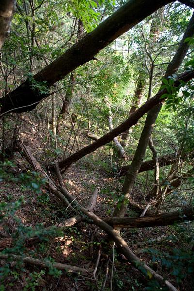 意を決して泉ヶ峠を出発すると、いきなり豪快な倒木。怪我もあり、抜けられそうでいけません。