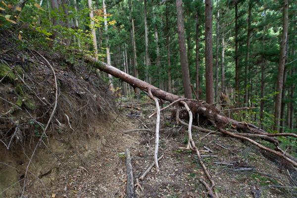 倒木。前週の台風の影響でしょうか。