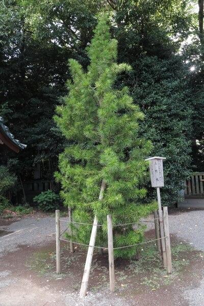 今上天皇陛下の姉にあたられる池田厚子様手植えの高野槇。悠仁親王の御誕生(平成18年9月6日)を祝って植えられました。