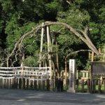 三嶋大社の金木犀(キンモクセイ)。国の天然記念物に指定されています。