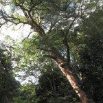 三嶋大社、御殿の右奥にある榧(カヤ)の木。樹齢は850年。