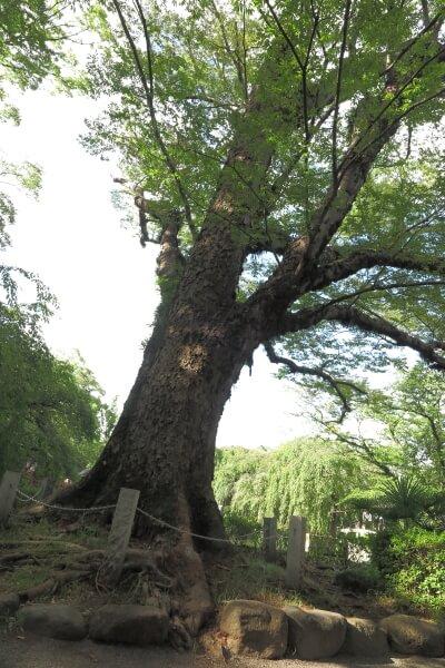 大鳥居側にあるケヤキの大木。樹齢は750年。