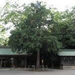 北白川房子様(成久王妃 房子内親王、1890-1974)お手植えの檜です。