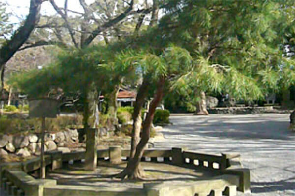 御殿への参道、神池の側にある「相生松」。源氏再興祈願に毎日訪れる源頼朝を、安達盛長はこの場所に立って警護したと伝わります。写真:三嶋大社HP