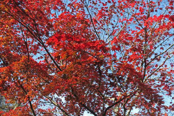 平成28年(2016年)11月25日、源氏山の紅葉。
