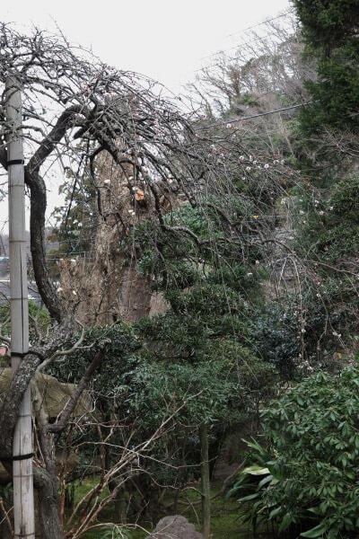 平成29年(2017年)2月24日、報国寺の梅。こちらの枝垂梅は花つきが悪いように見えました。