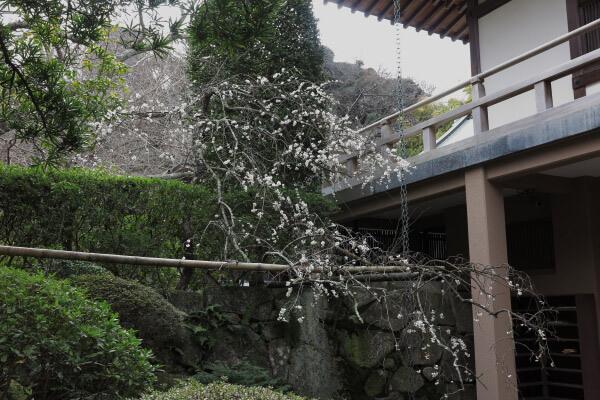平成29年(2017年)2月24日、報国寺の梅。迦葉堂前にあるこの枝垂梅はよく咲いていました。