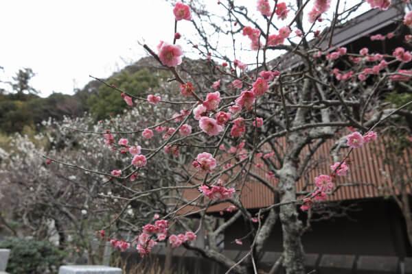 平成29年(2017年)2月24日、妙本寺、日蓮像足元の梅。
