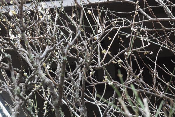 平成29年(2017年)2月24日、妙本寺、祖師堂左手の梅。