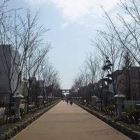 平成29年(2017年)3月28日、段葛の桜。