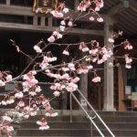 天津神明宮、御正殿の前にある紅山桜。