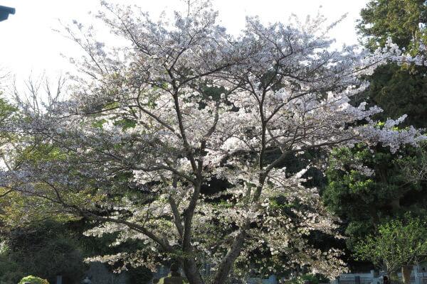 平成29年(2017年)4月13日、午後4時頃の妙本寺。