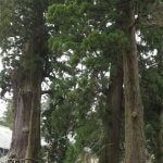 清澄寺の御神木、千年杉と周囲の大木。