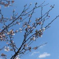 平成29年(2017年)4月3日、鶴岡八幡宮の桜