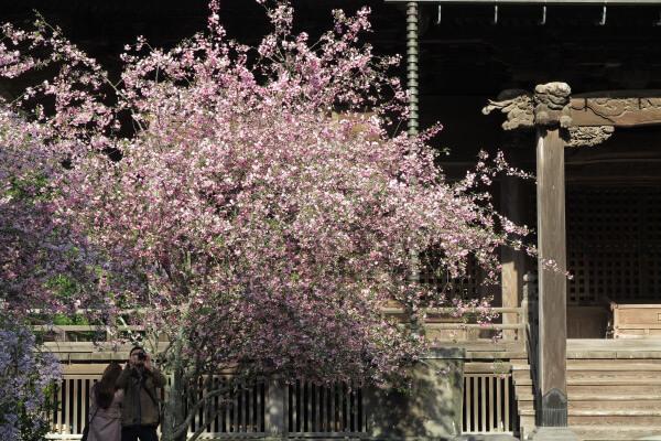 平成29年(2017年)4月13日、午後4時頃の妙本寺。海棠です。