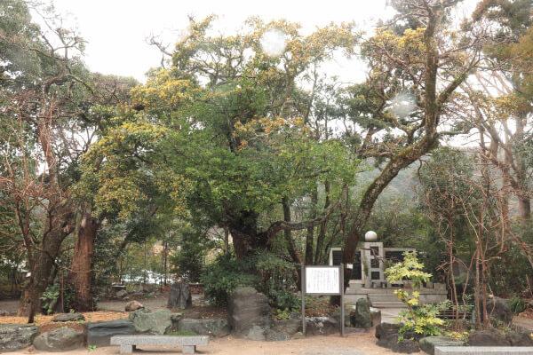 天津神明宮の「まるばちしゃの木」。