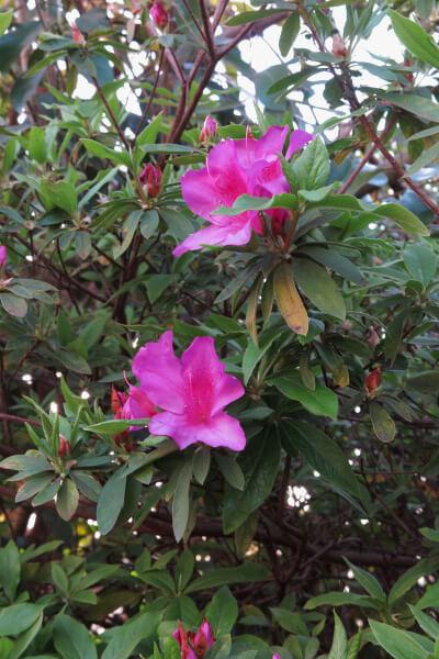 平成29年(2017年)4月13日、午後4時頃。名越切通口付近の公園では躑躅(ツツジ)が少し咲いていました。