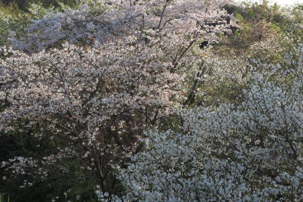 平成29年(2017年)4月13日、午後4時頃。ハイランドを上がりきった、名越切通口付近の公園。