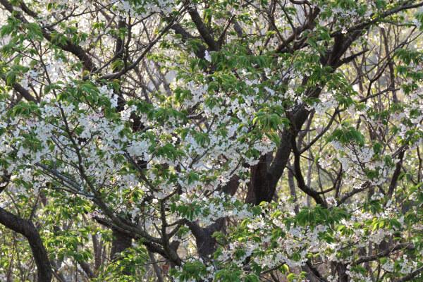 平成29年(2017年)4月13日、午後4時頃。ハイランドを上がりきった、名越切通口付近の公園。大島桜。