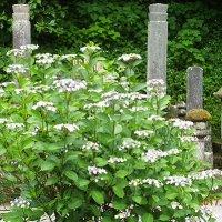 平成29年(2017年)6月7日(水)、比企一族の墓前に咲く、妙本寺のあじさい。