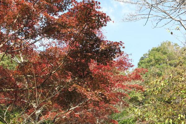 平成29年(2017年)11月16日 源氏山の紅葉。