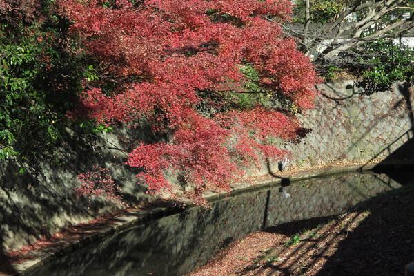 平成29年(2017年)12月10日(土)、犬懸橋の紅葉。