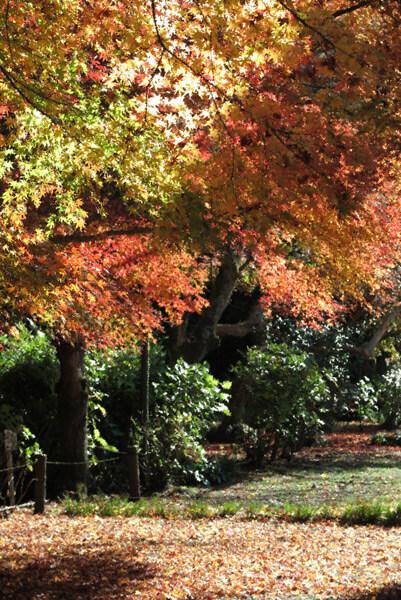 旧華頂宮邸の紅葉。