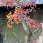 「和喫茶 金魚の栖」、中庭にある紅葉。