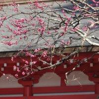 平成30年(2018年)1月31日(水)、荏柄天神社の寒紅梅。寒紅梅は春に咲く白梅紅梅と違い、冬の花ですから見頃を迎えています。