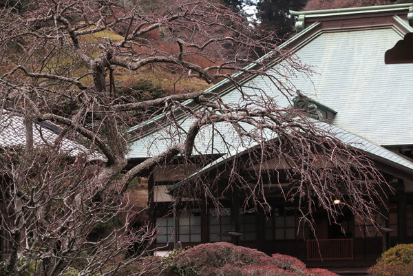 平成30年(2018年)2月8日(木)、海蔵寺の梅