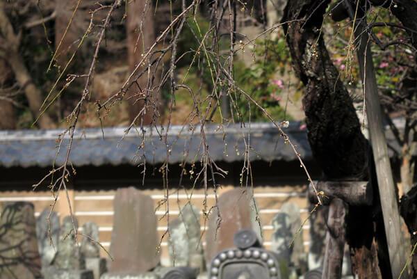 平成30年(2018年)2月16日(金)、円覚寺、百観音の梅