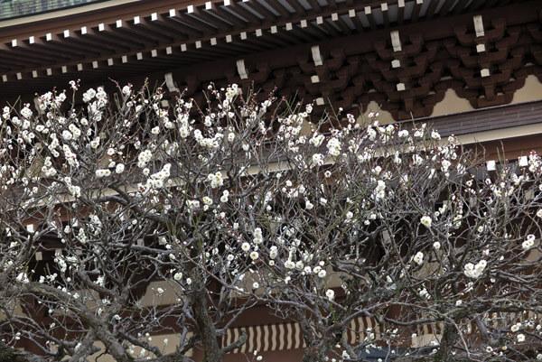 平成30年(2018年)2月16日(金)、円覚寺の梅