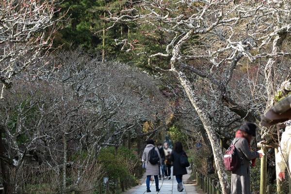 平成30年(2018年)2月16日(金)、東慶寺の梅。梅に囲まれた参道はまだあまり咲いていません。