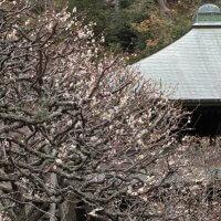 平成30年(2018年)2月23日(金)、瑞泉寺の梅。開花の早い、上にある本堂の平場。