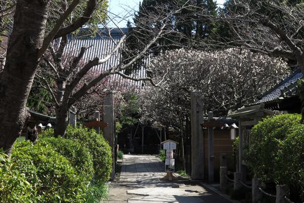 平成30年3月1日(木)、宝戒寺の梅。宝戒寺の参道は並木になっており、手前半分が桜、奥が梅です。